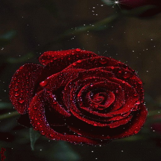 Dewy Red Rose LWP