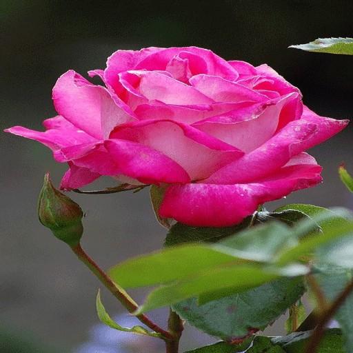 Nature Pink Rose LWP