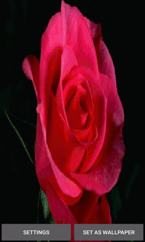 Red Rose Blooming LWP