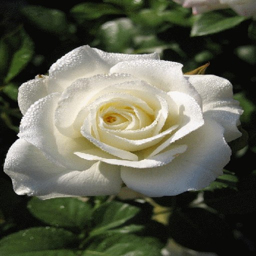 Dewy White Rose LWP