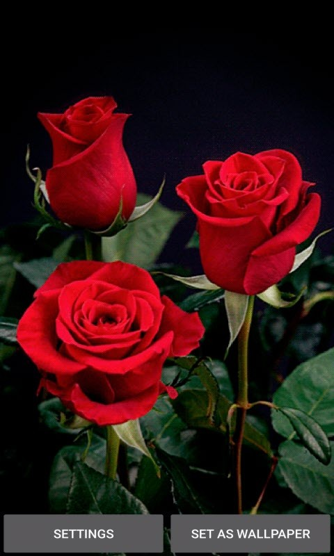 Valentine Red Roses LWP