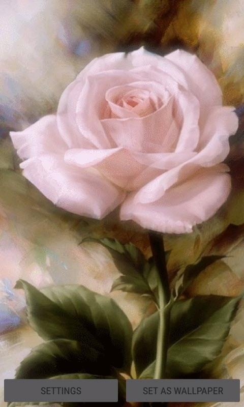 Pink Rose Blooming LWP
