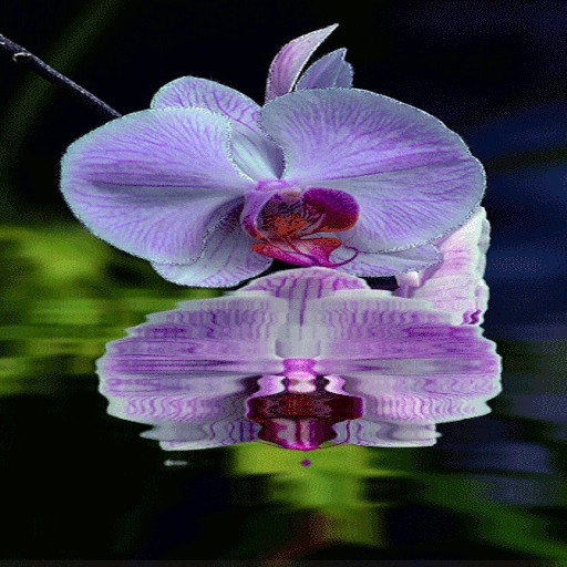 Purple Orchid Flower LWP