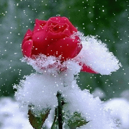 Snowy Red Rose LWP