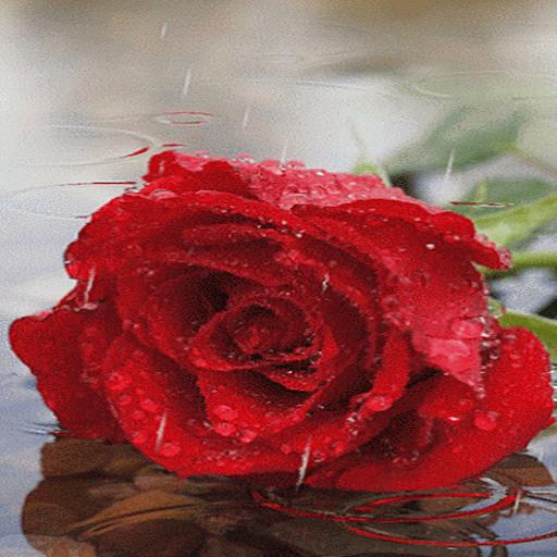 Dewy Rainy Rose LWP