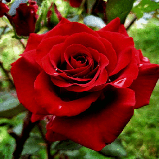 Red Rose Flower LWP