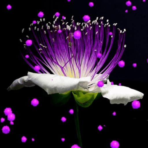 Purple Hearts Flower LWP